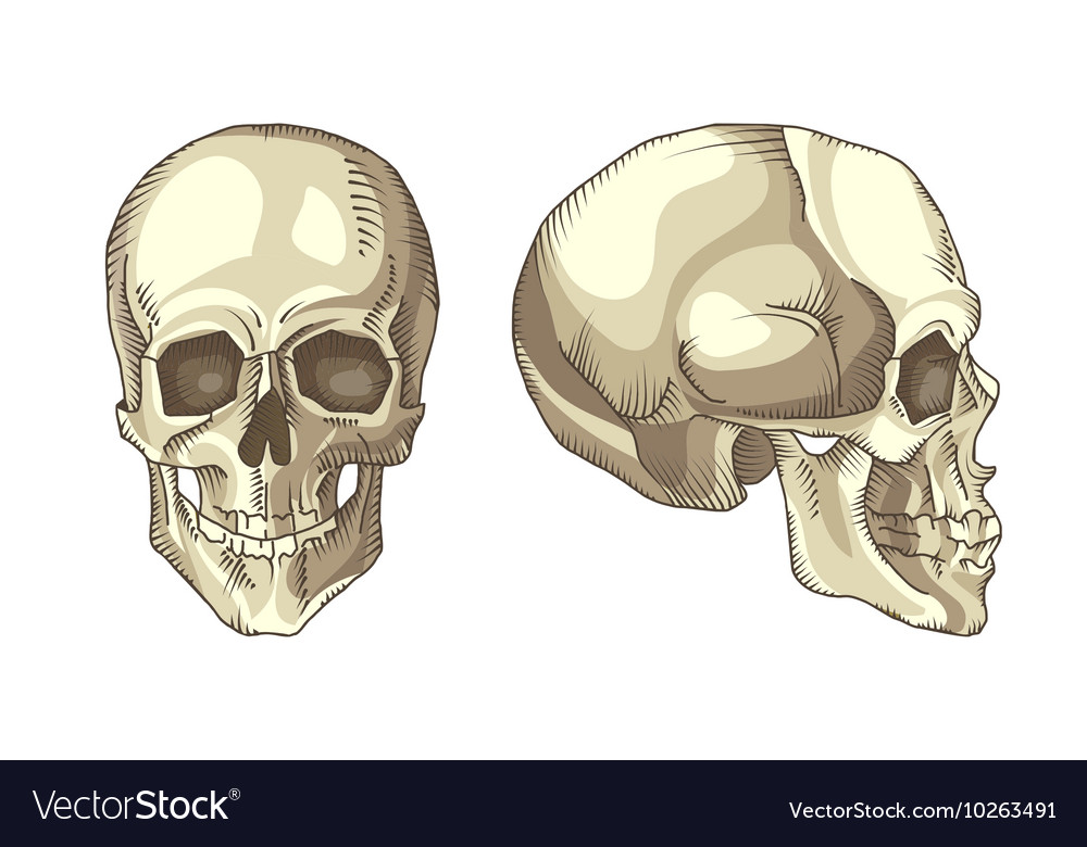 Anatomical Skull Royalty Free Vector Image Vectorstock