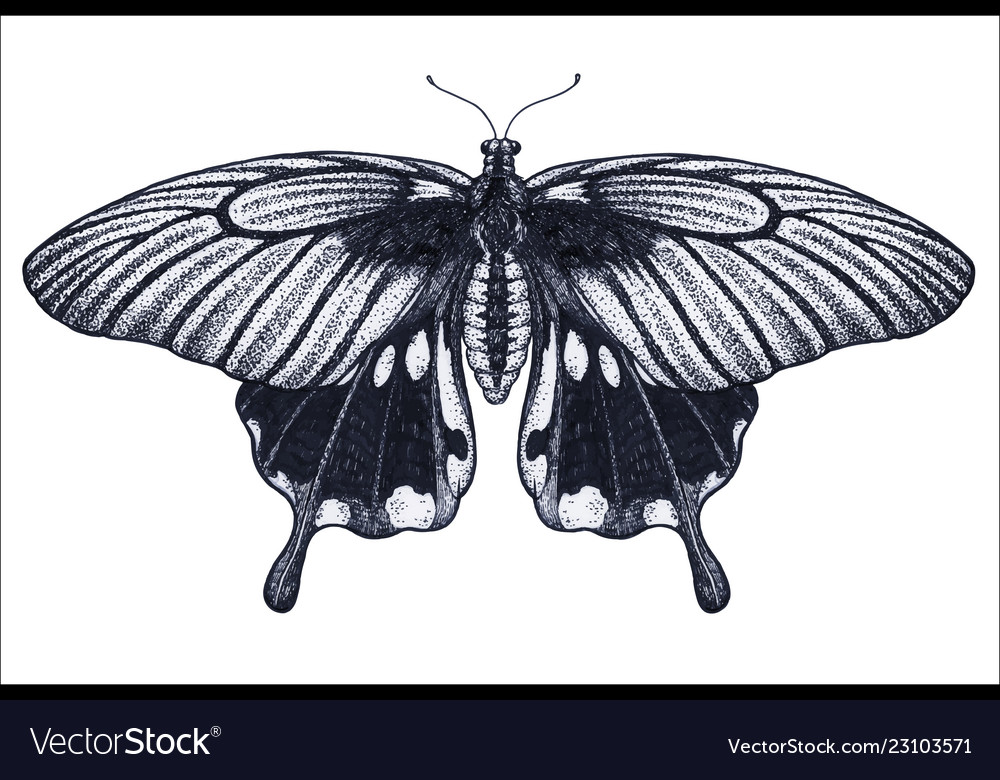 fd0624cfb Butterfly tattoo sketch tropical butterfly Vector Image