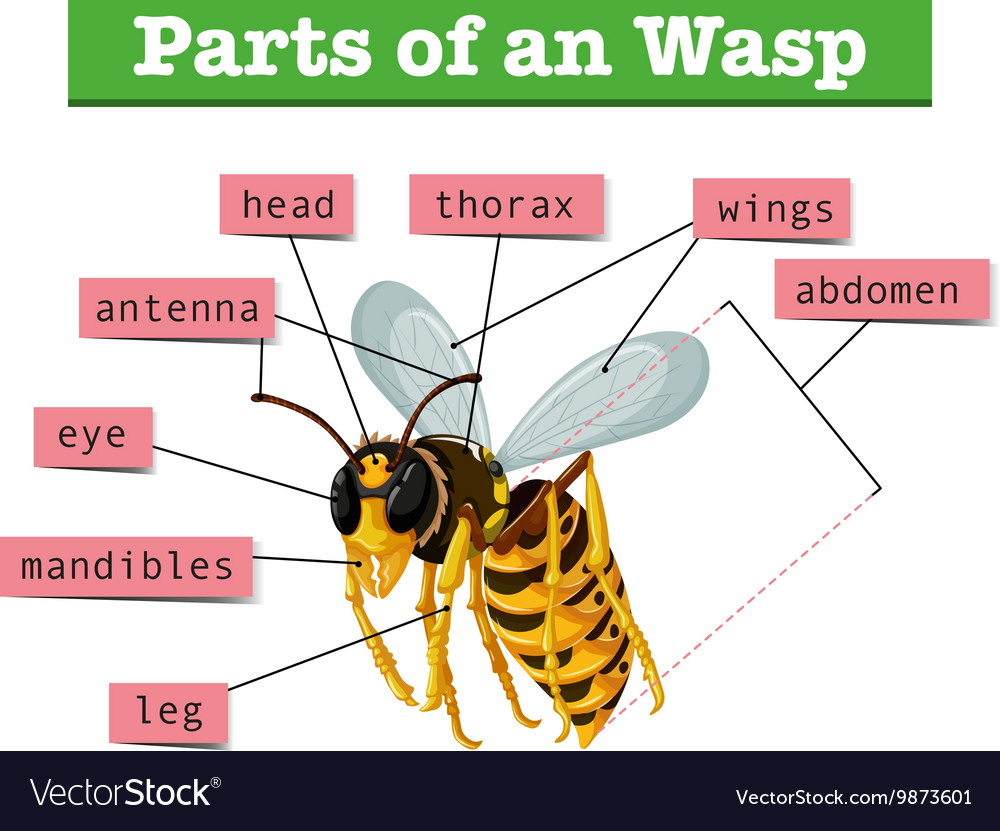 Anatomy of wasp with words Royalty Free Vector Image