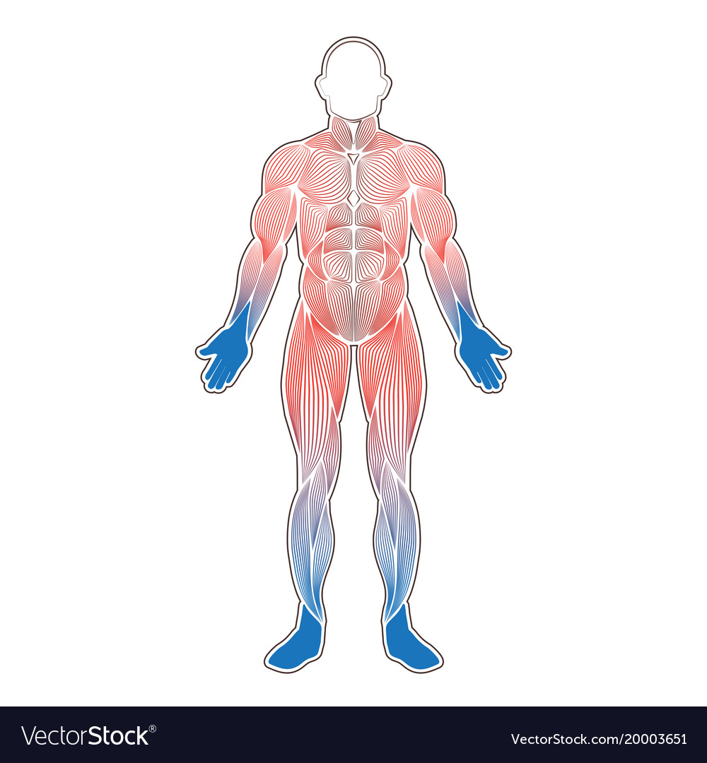 Human muscles cold Royalty Free Vector Image - VectorStock