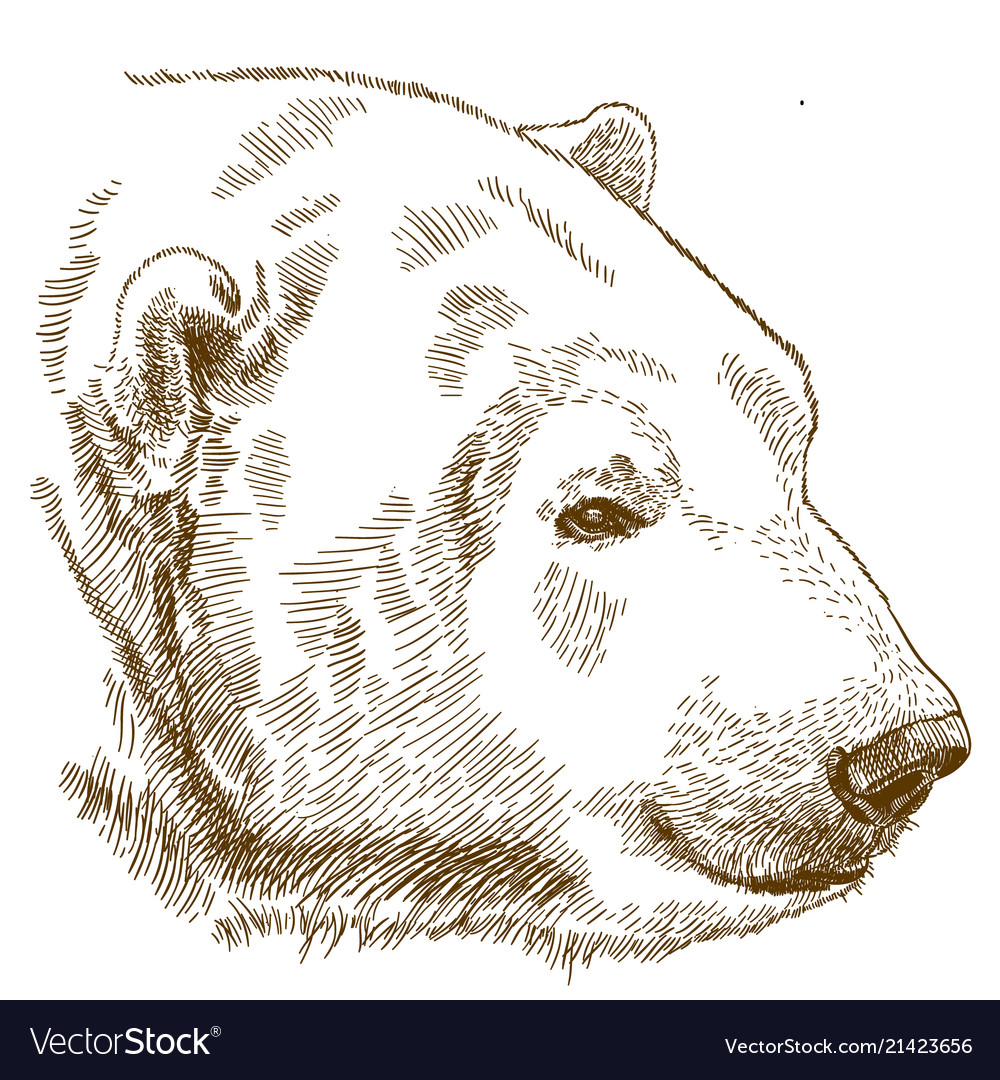 engraving drawing of polar bear head royalty free vector