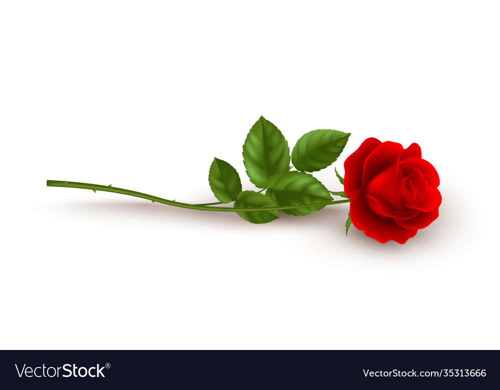 Realistic red rose lying on white background