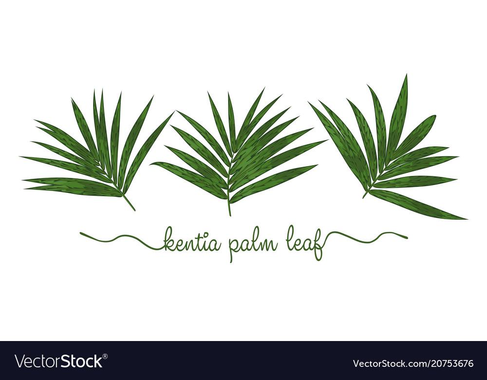 Leaves of howea forsteriana elements set botany