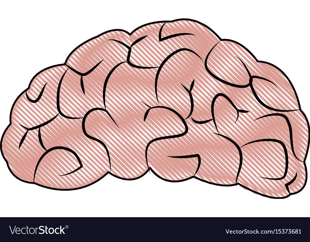 Drawing brain human organ part anatomy Royalty Free Vector