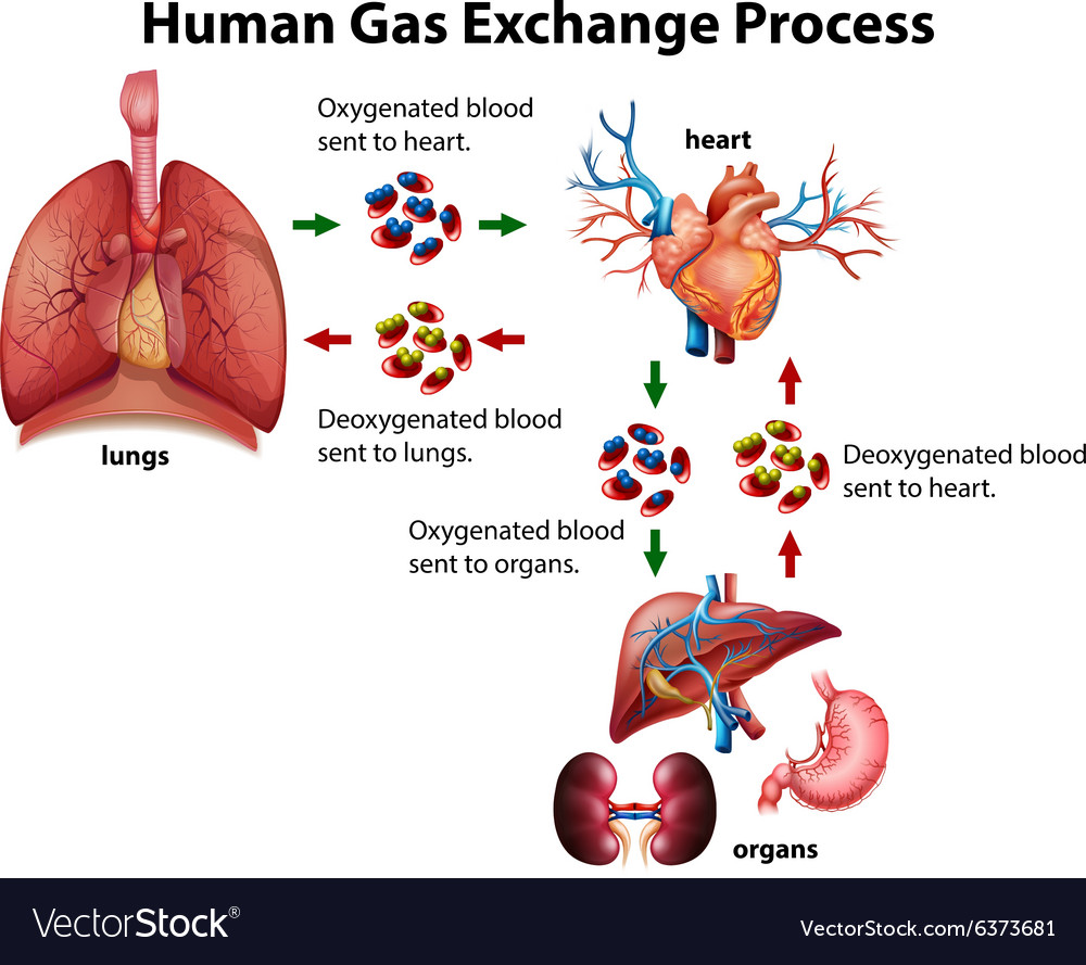 Image result for gas exchange diagram human