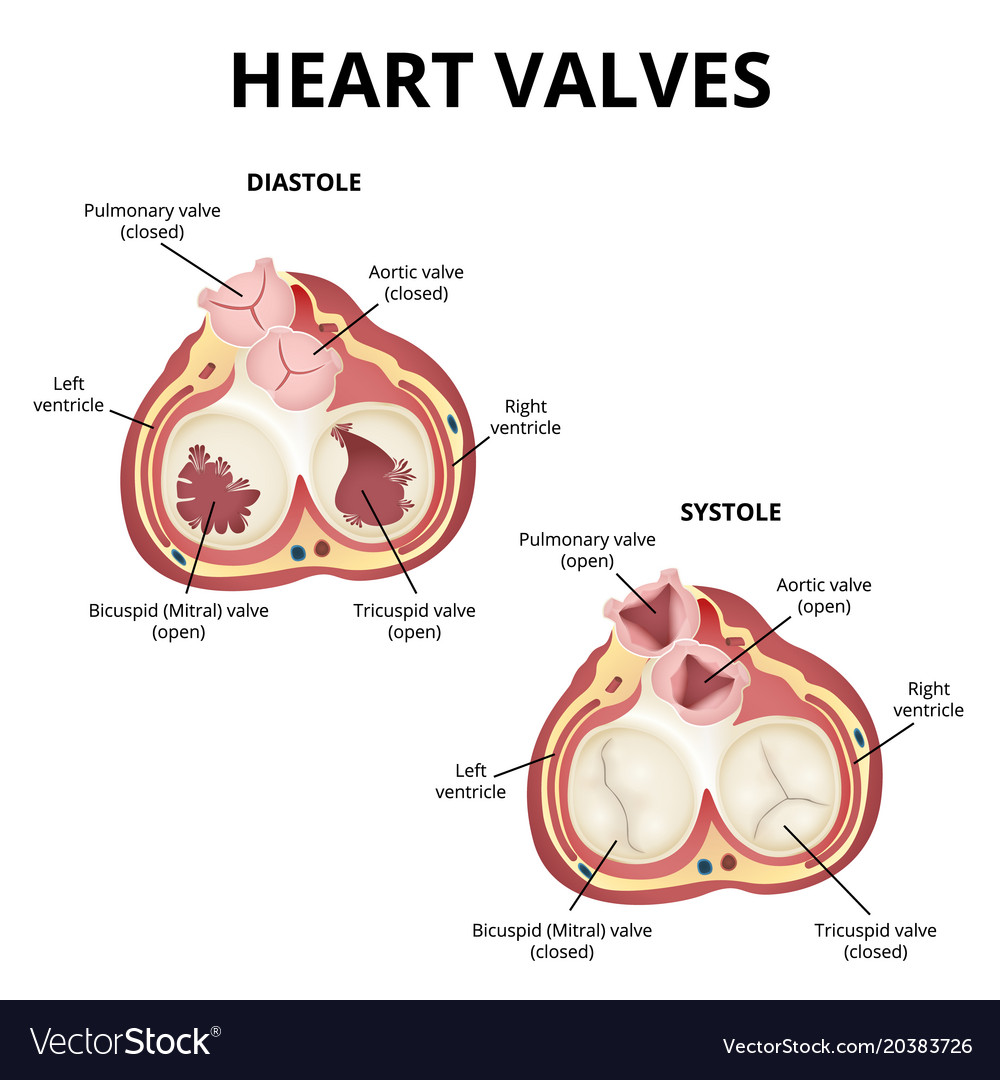 Heart valves anatomy Royalty Free Vector Image