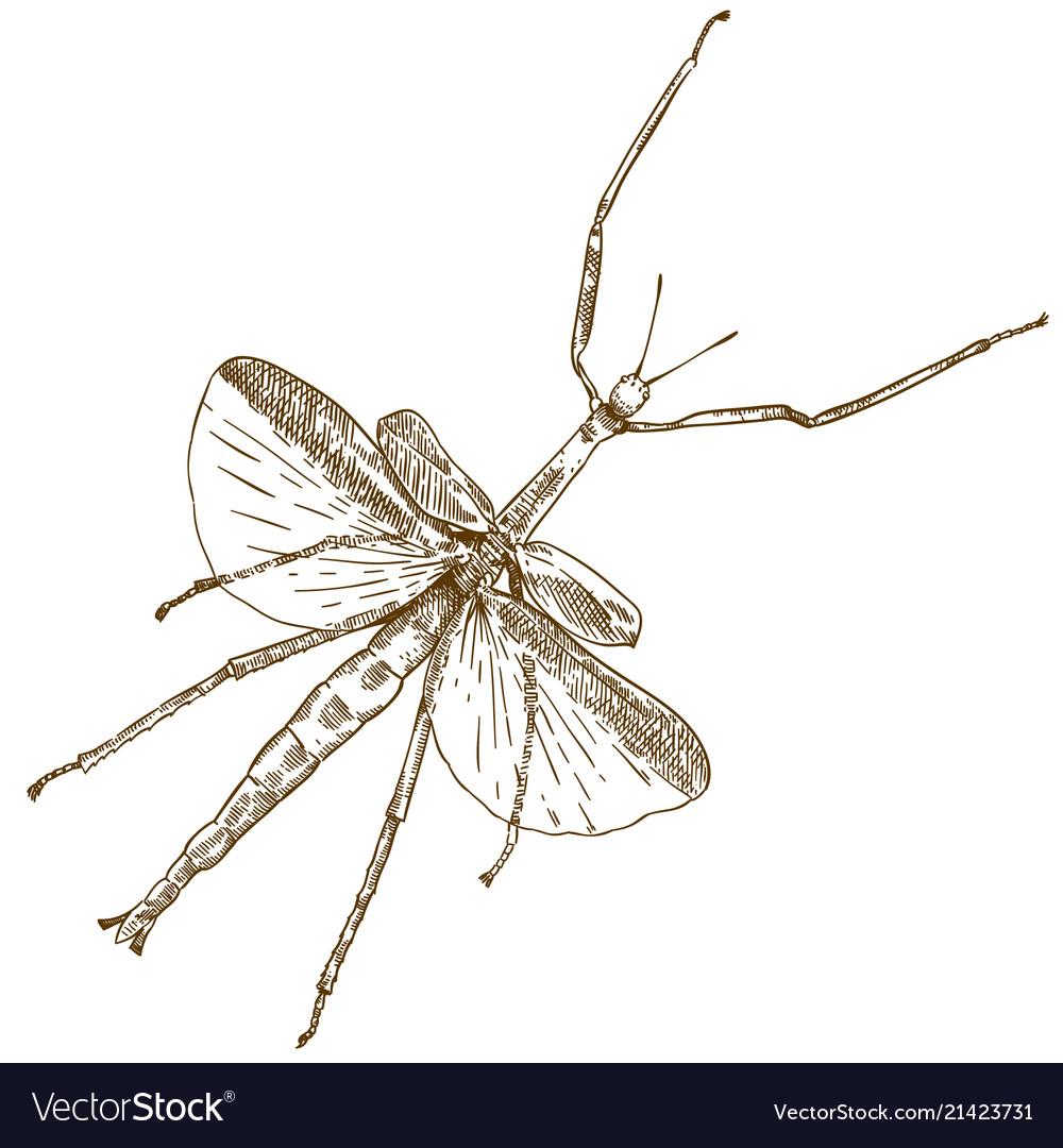 Engraving drawing of stick mantis
