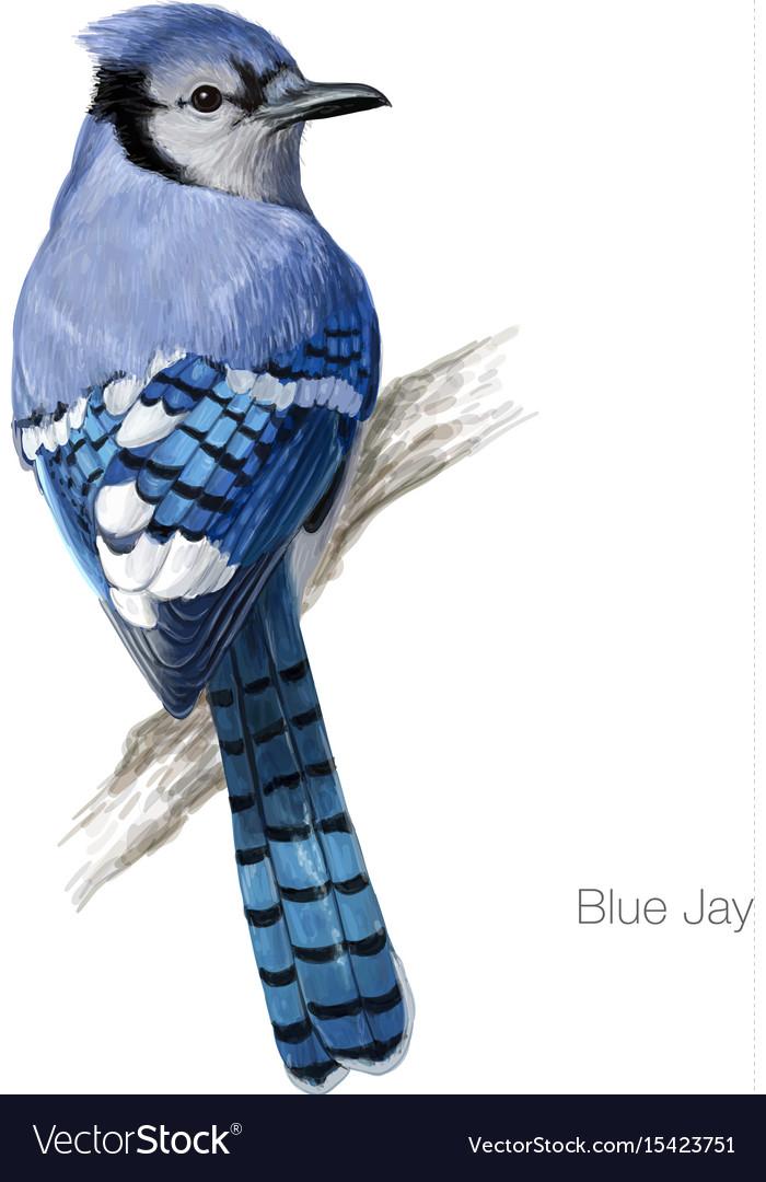 Blue jay hand drawn