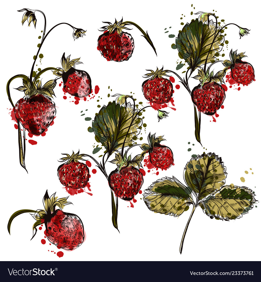 Set of hand drawn strawberry plants for design