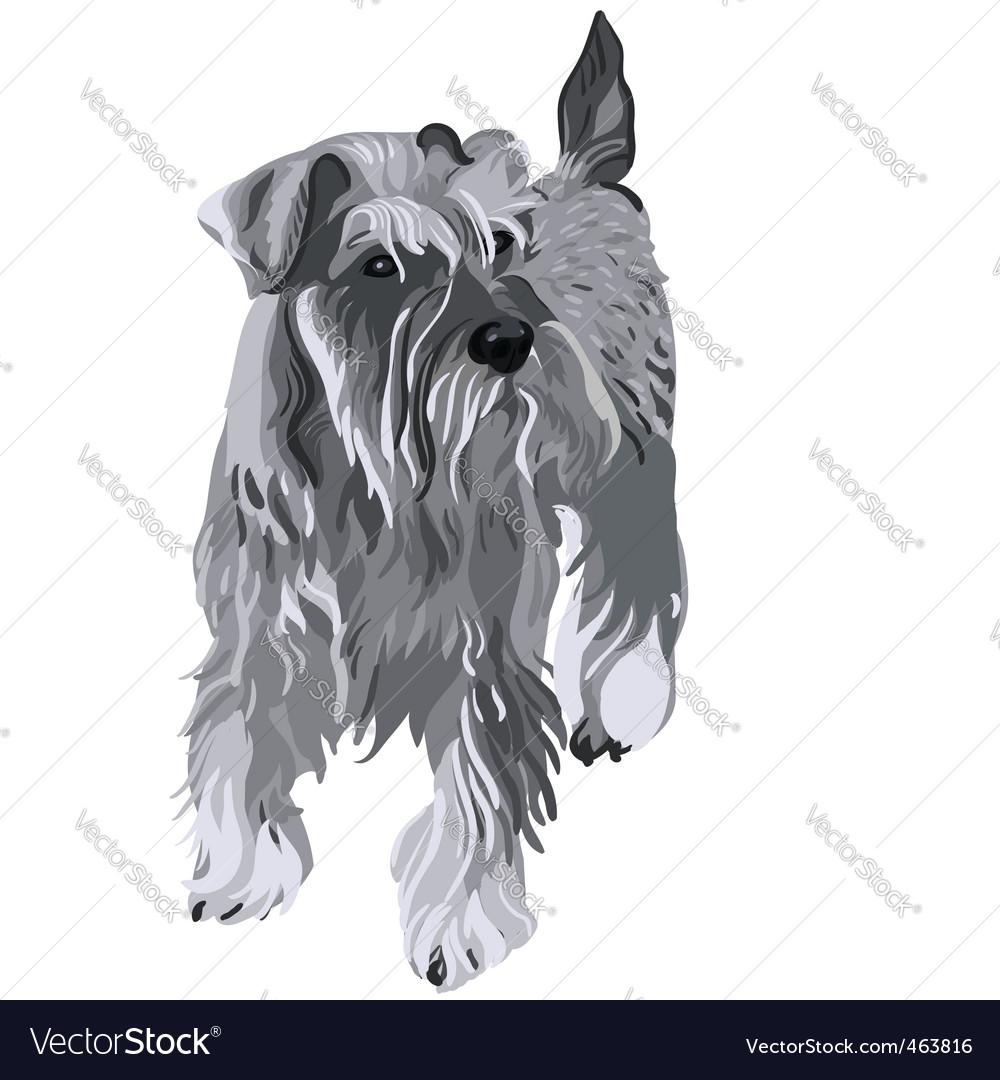 Miniature Schnauzer Dog. Miniature Schnauzer Dog Vector