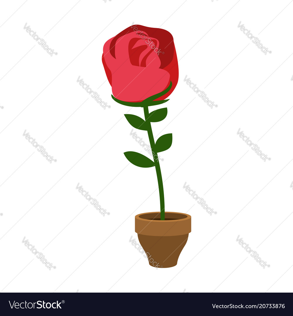 Rose in pot isolated home flower flora on