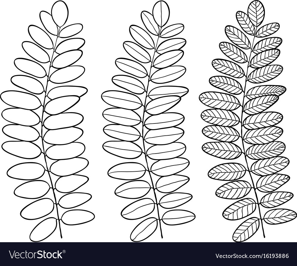 Acacia Line Art Leaves Isolated For Interior Vector Image