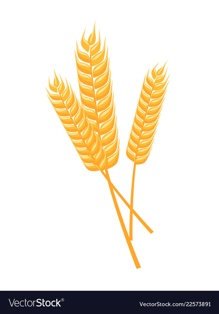 Wheat spikelets isolated