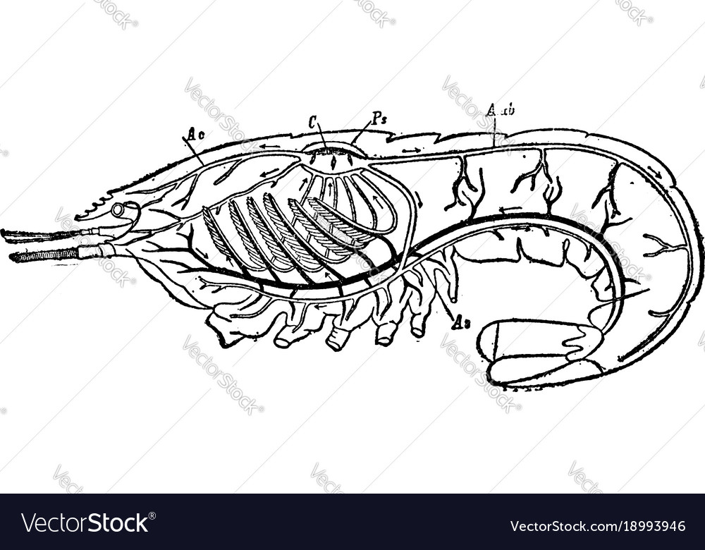 Circulatory and respiratory system of a crayfish vector image ccuart Choice Image