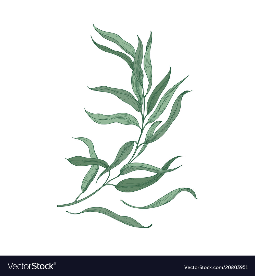 Eucalyptus sprig with green leaves isolated on