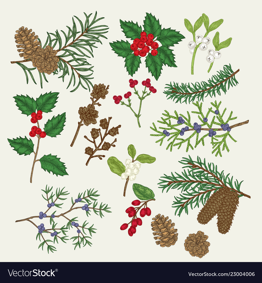 Hand Drawn Christmas Plants Holly Royalty Free Vector Image