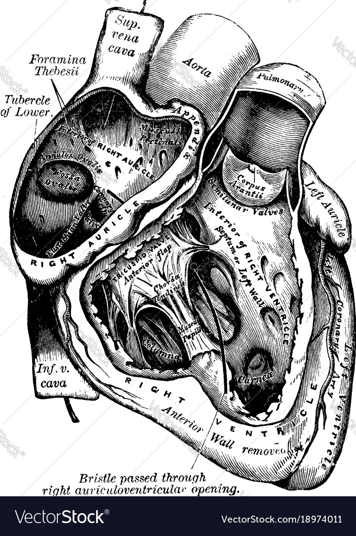 Heart with right auricle and ventricle laid open Vector Image