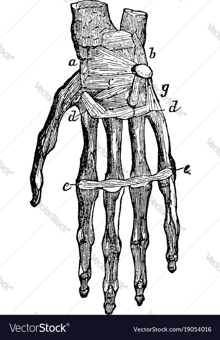 Bones and ligaments of the hand vintage Royalty Free Vector