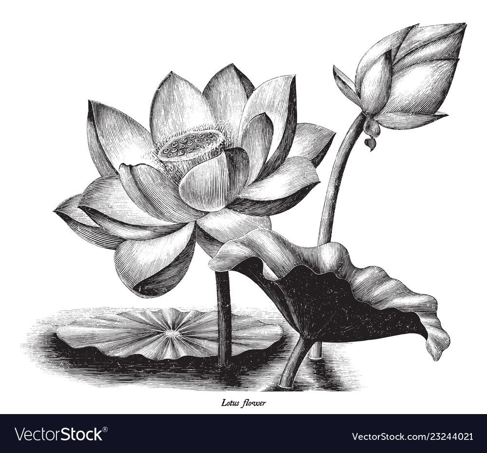 Lotus flower botanical vintage engraving clip art