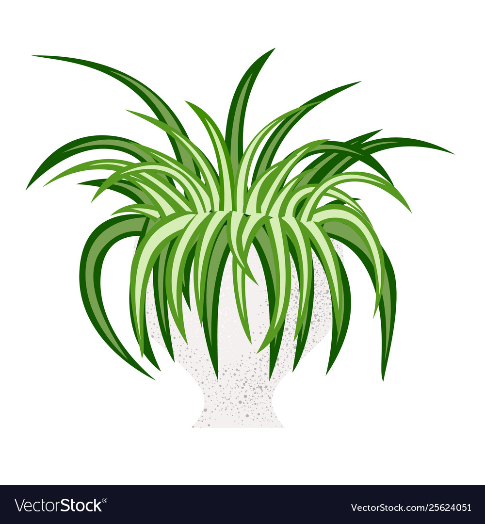 Spider house plant isolated