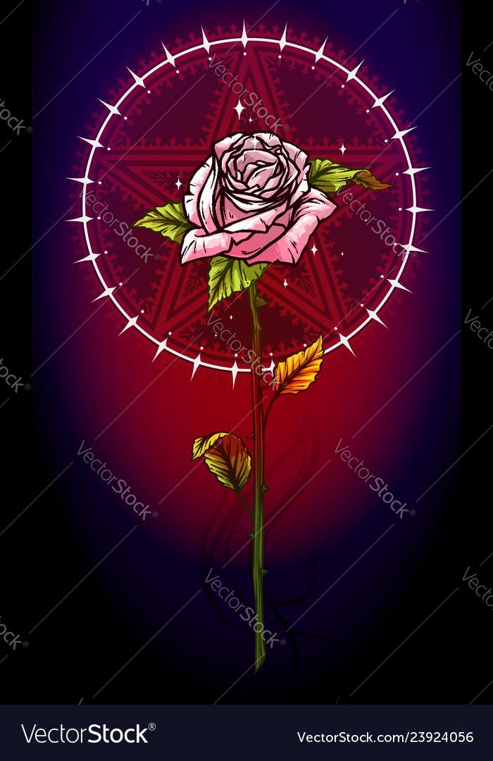 Pink rose flower with pentagram star