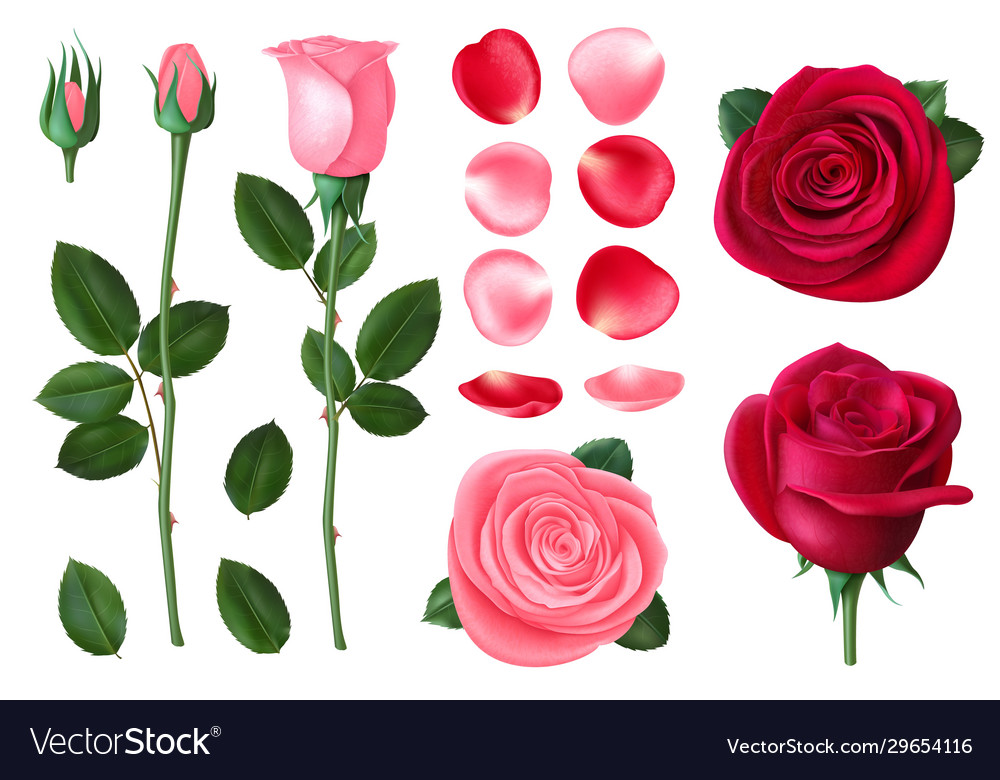 Pink and red rose sweet romantic flowers spring