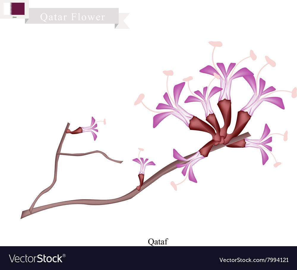 Qataf Flower The National Flower of Qatar