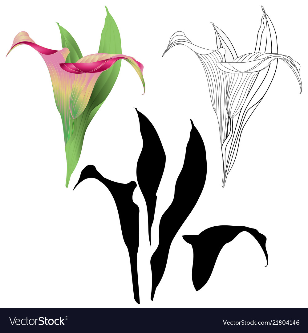 Calla Lily Pink Flowers And Leaves Royalty Free Vector Image