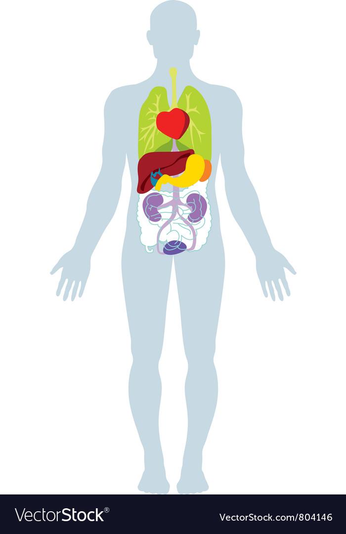 Human organs Royalty Free Vector Image - VectorStock