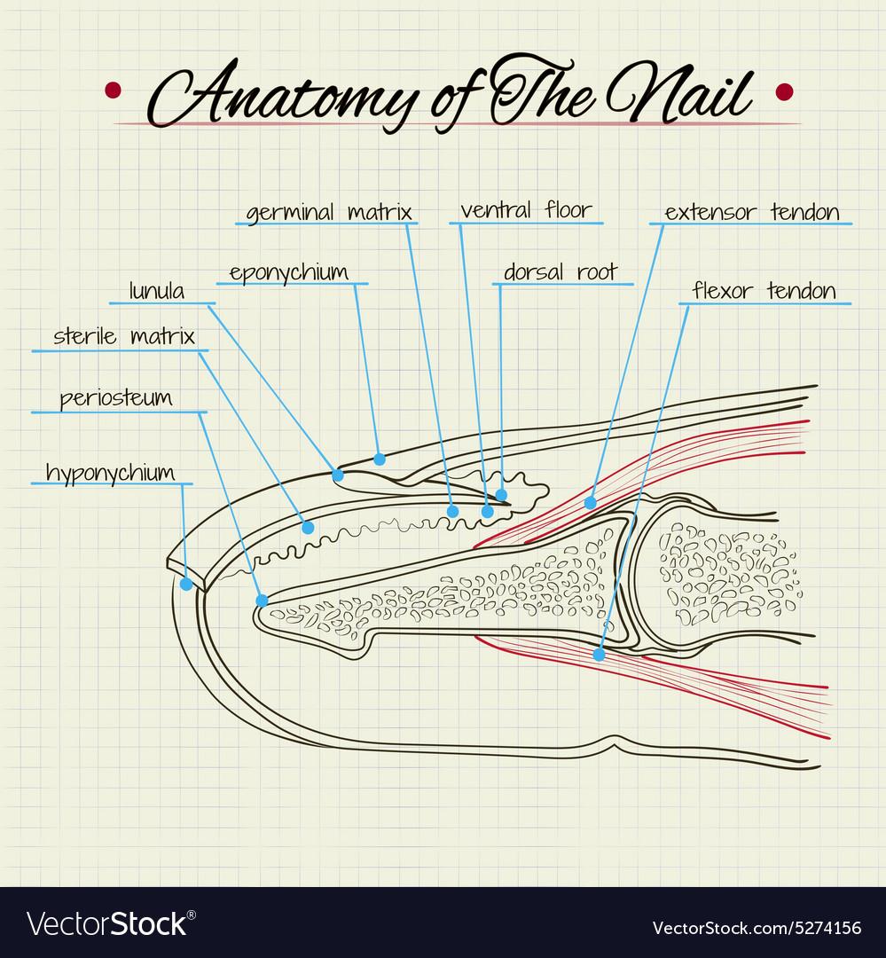 Anatomy of The Nail Royalty Free Vector Image - VectorStock