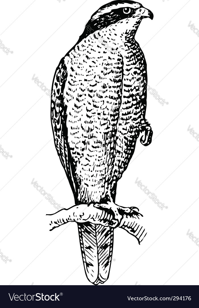 Northern goshawk vector image