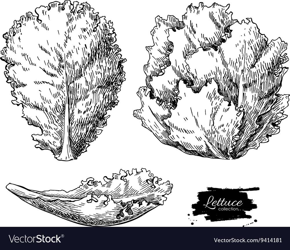 Lettuce hand drawn set Vegetable engraved