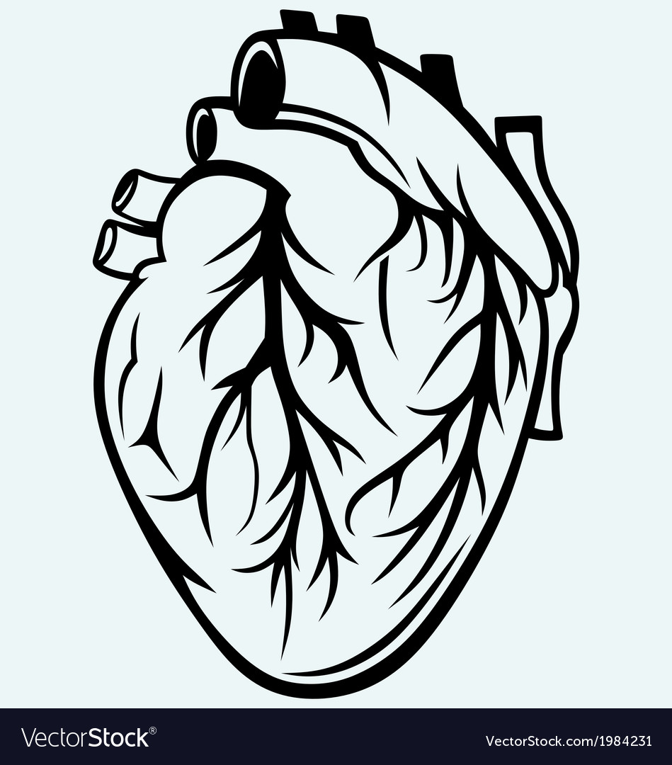 human heart royalty free vector image vectorstock rh vectorstock com human heart vector free download human heart vector graphics