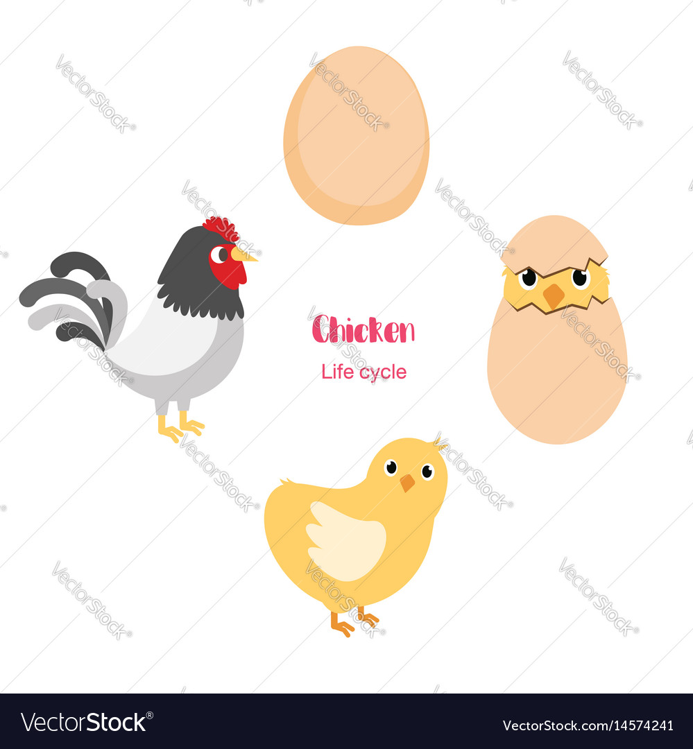 Chicken Egg Life Cycle Royalty Free Vector Image