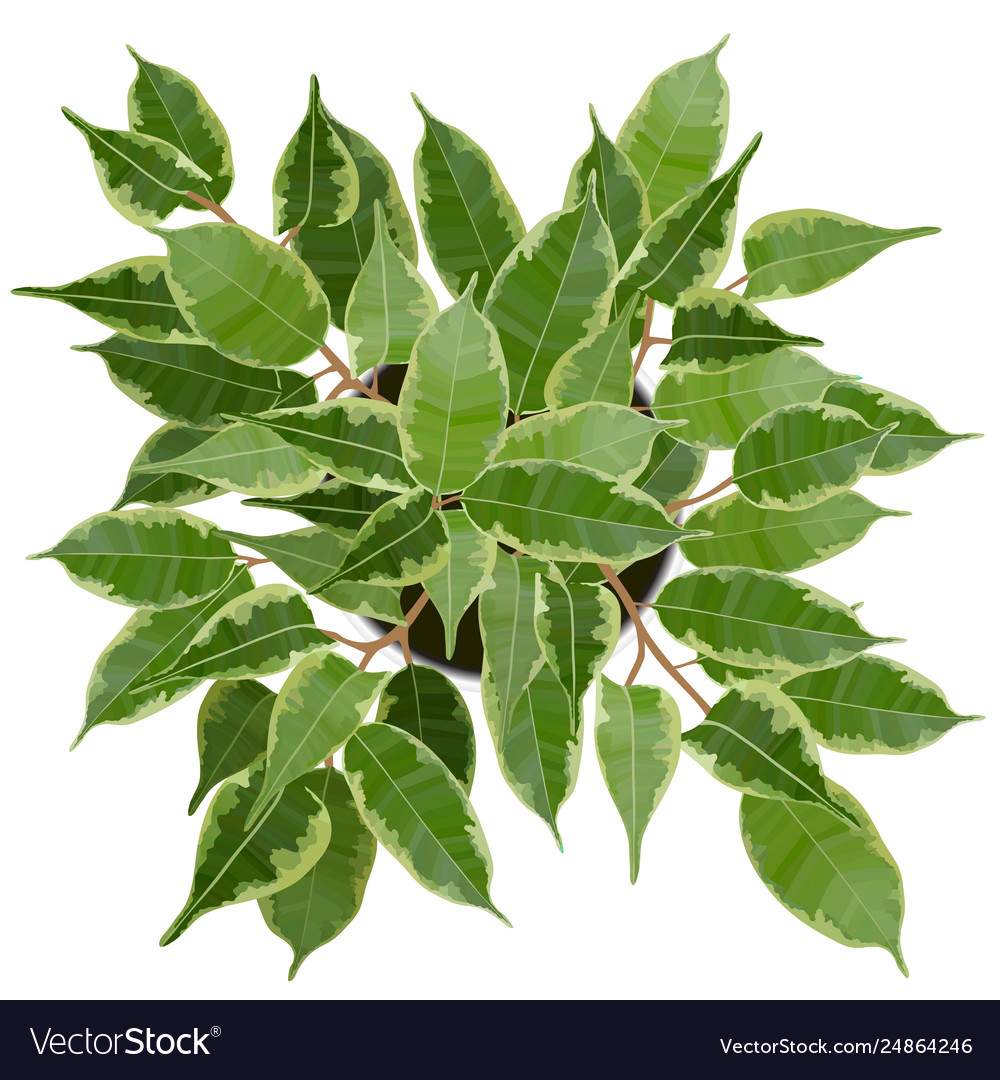 Decorative ficus benjamina tree top view