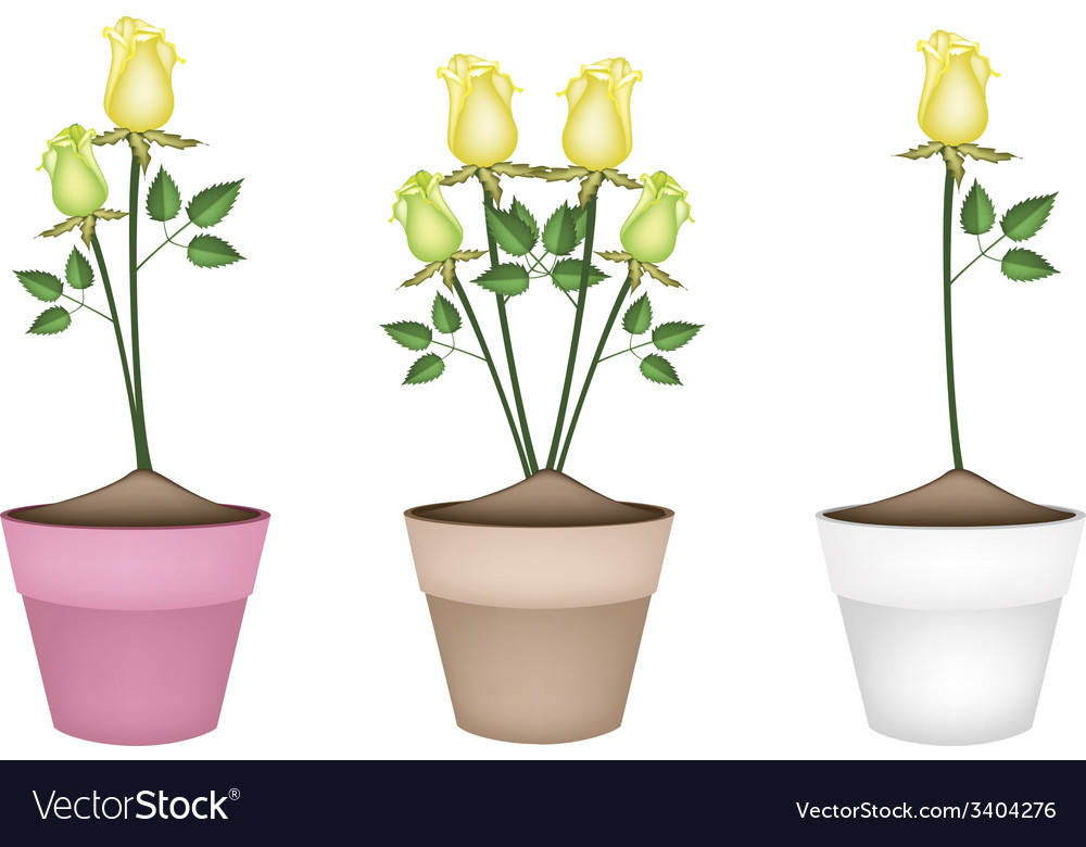 Yellow Roses In Three Ceramic Flower Pots Vector Image
