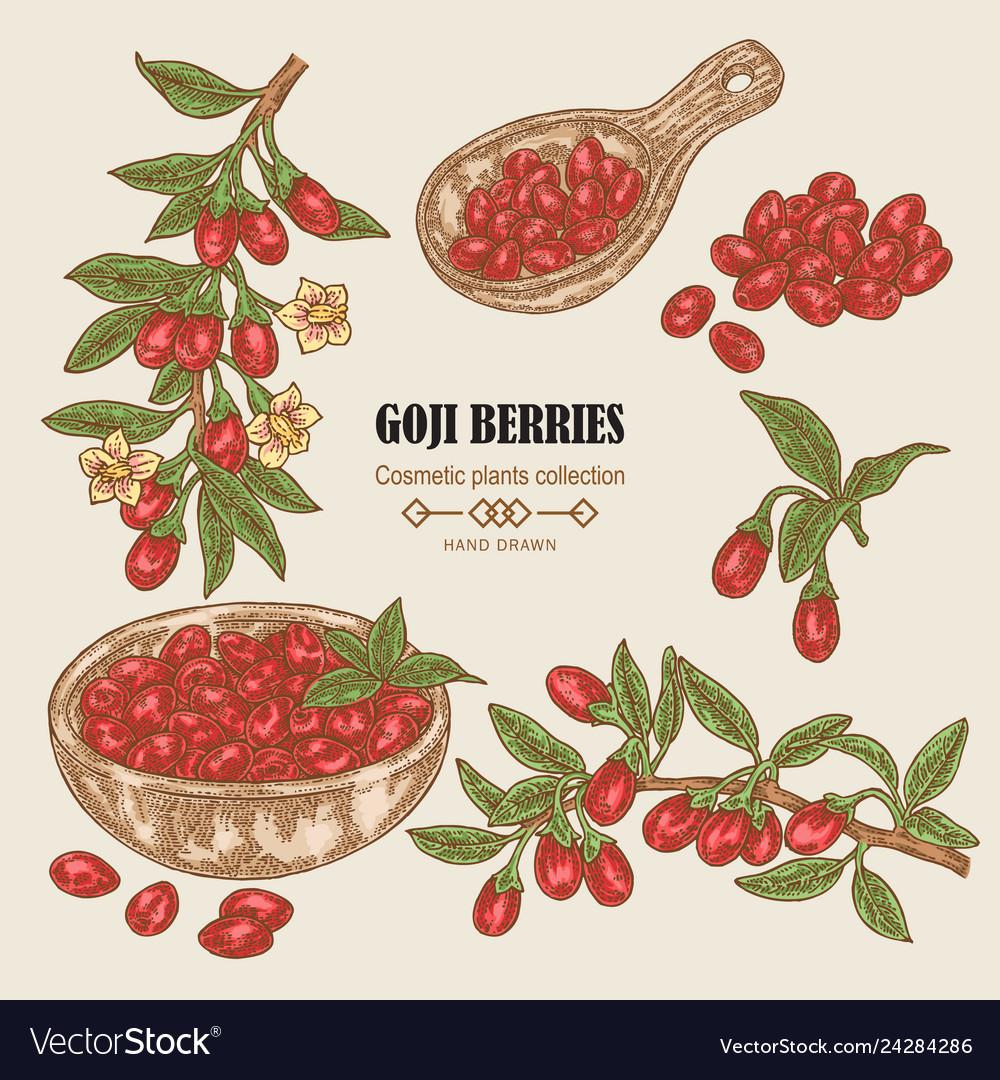 Hand drawn set of goji berries colored sketch