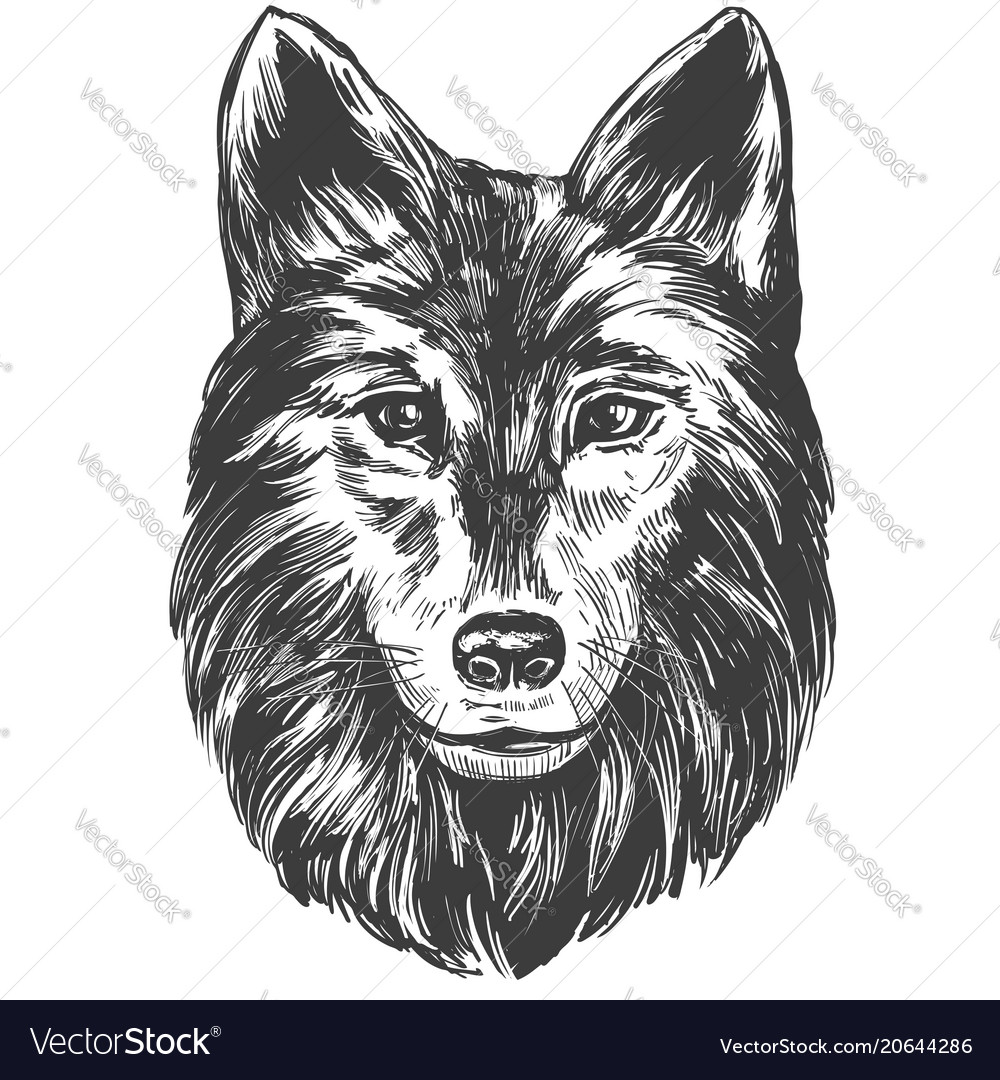 Muzzle of a wolf wildlife hand drawn vector image