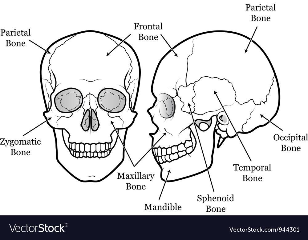 Skull Chart vector image