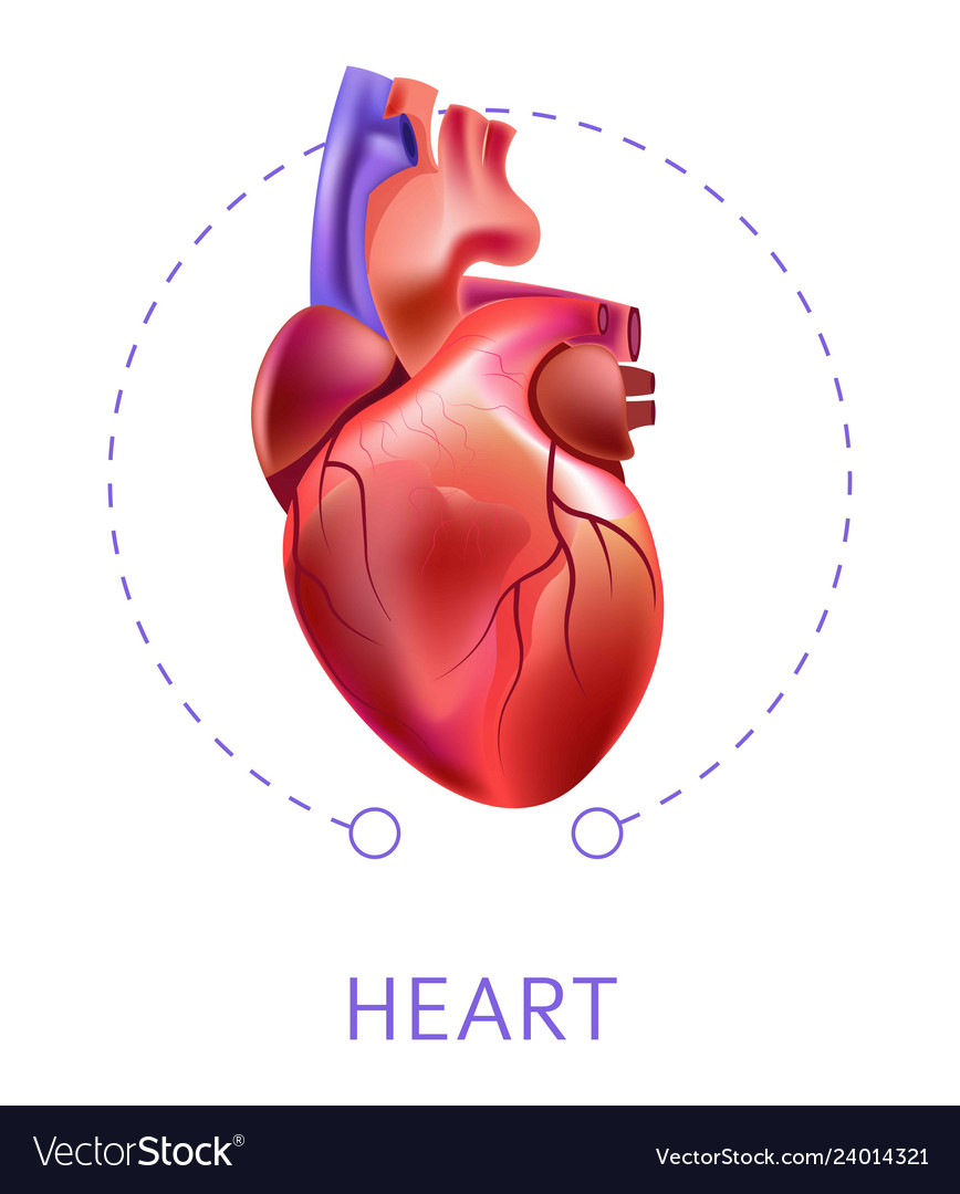 Heart isolated icon cardiovescular system internal