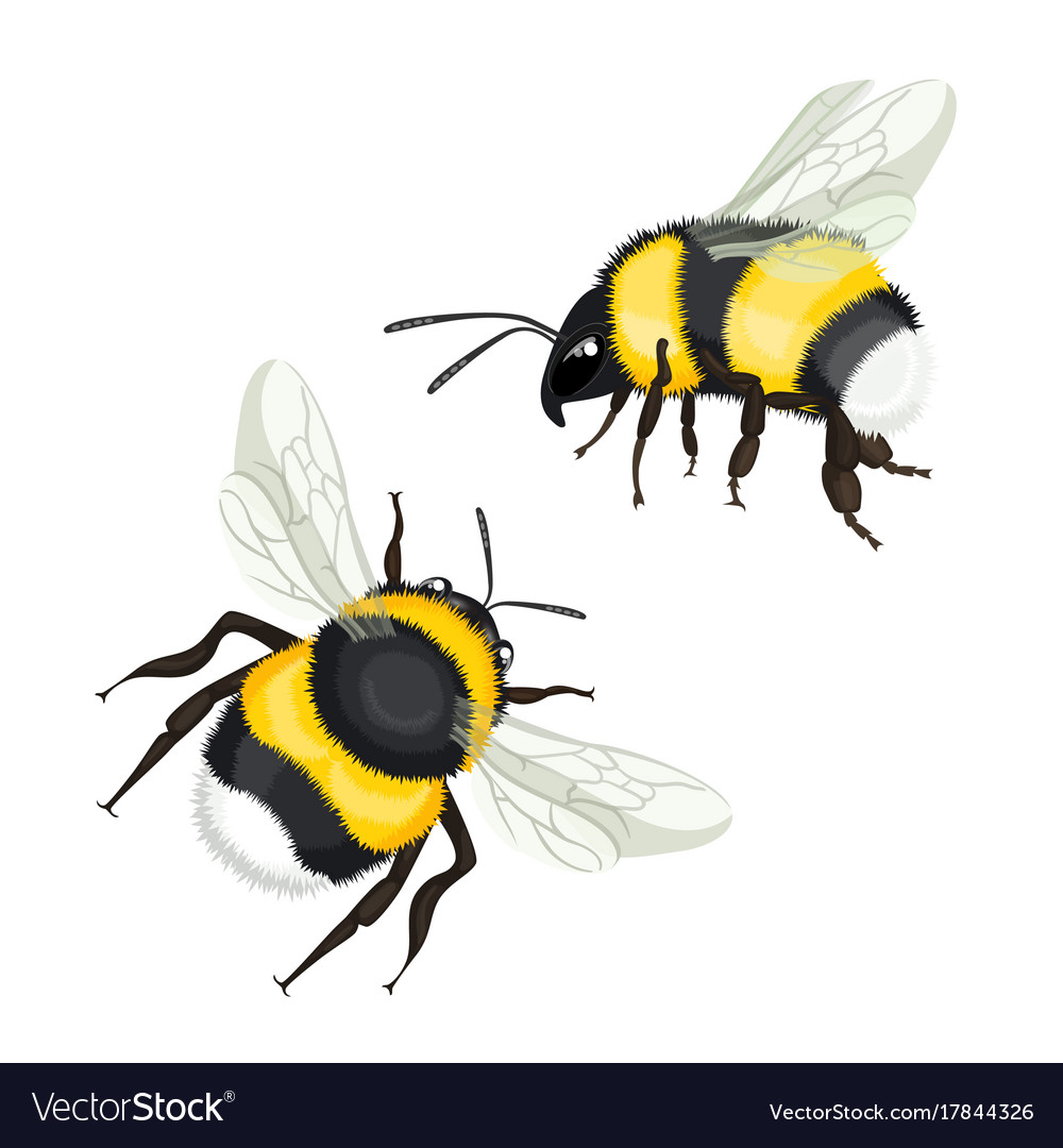 Two bumble bees with wings flying