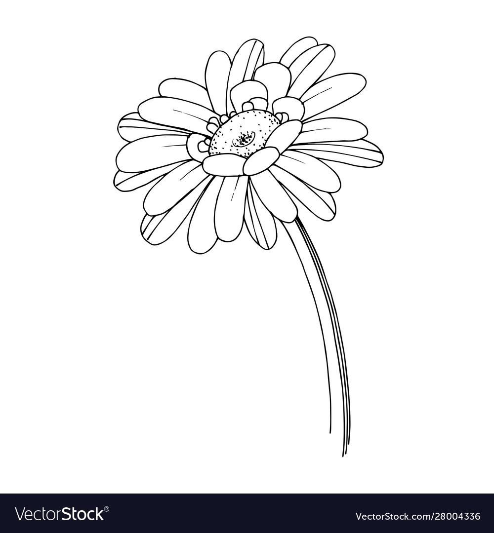Gerbera floral botanical flower black and
