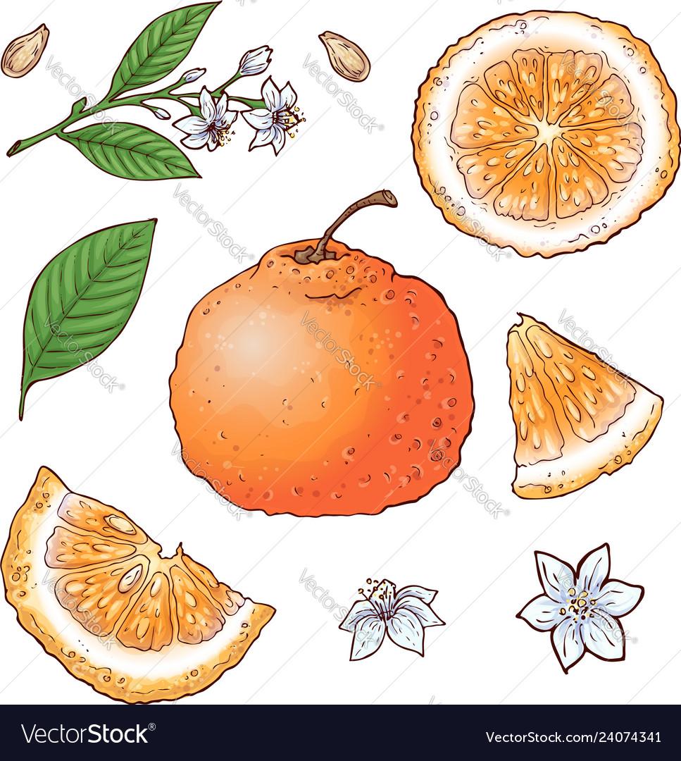 Set of mandarin fruits isolated elements