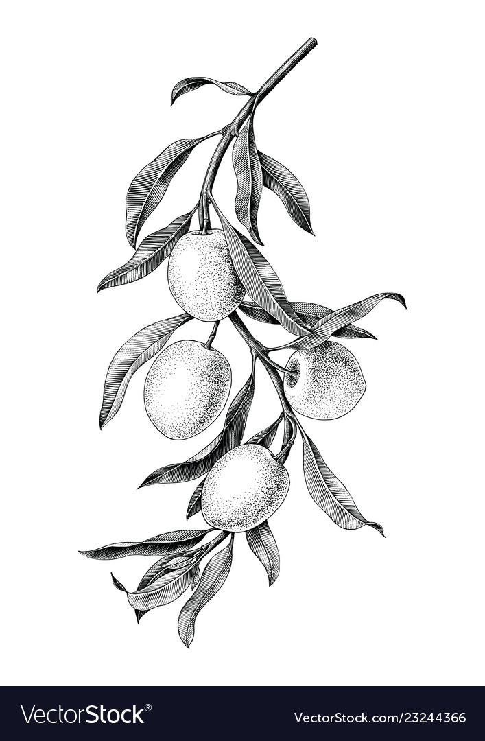 Olives branch black and white vintage clip art