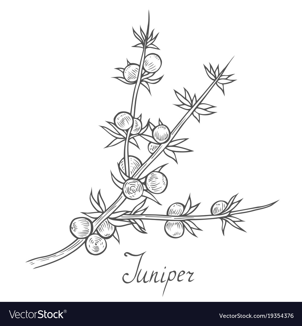 Juniper branch with berries vector image