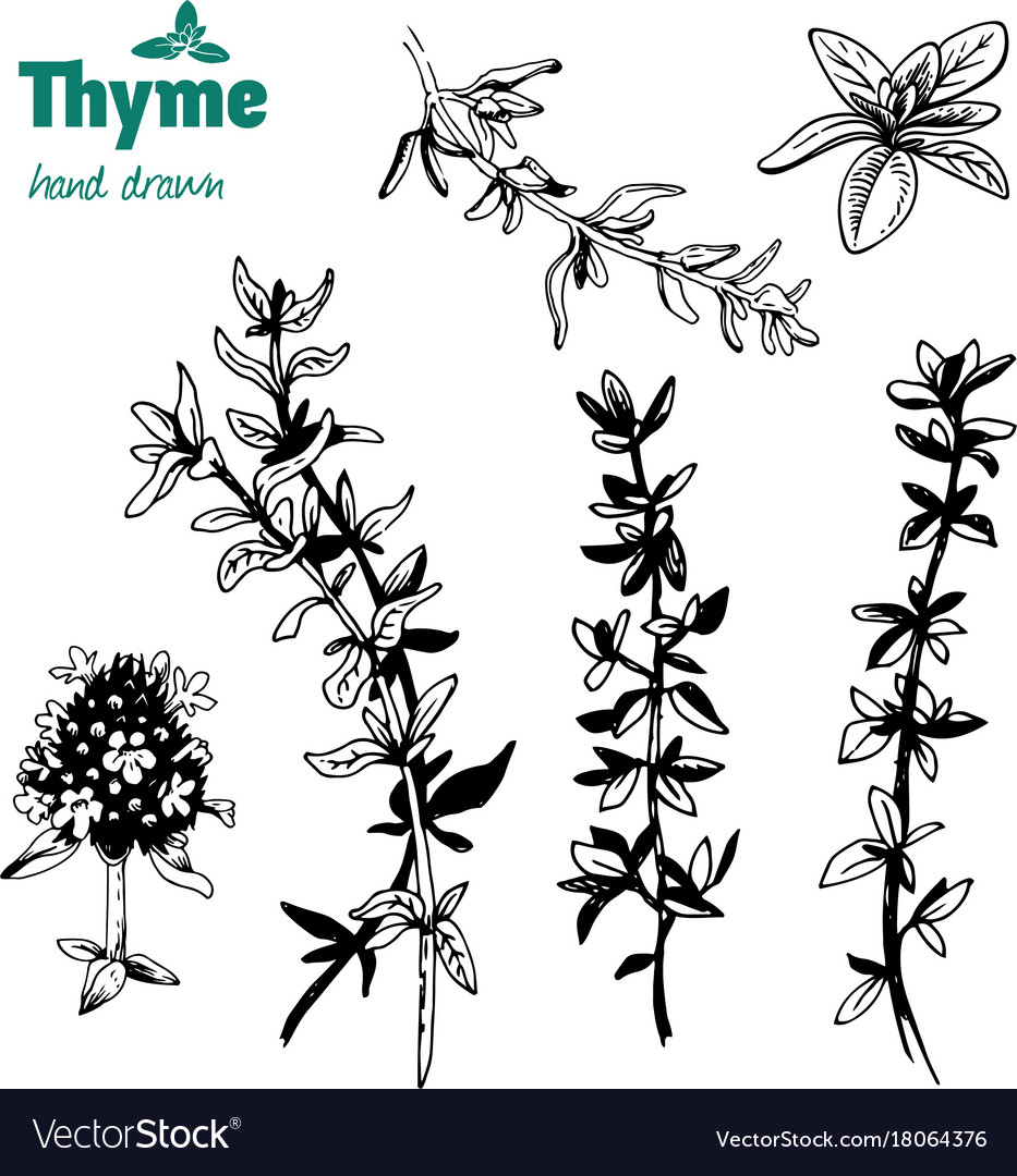 Thyme twigs and flowers hand drawn