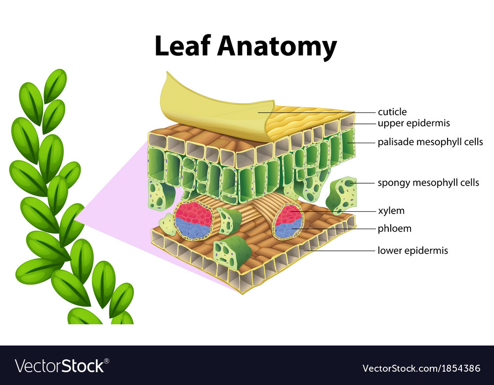 Leaf anatomy Royalty Free Vector Image - VectorStock