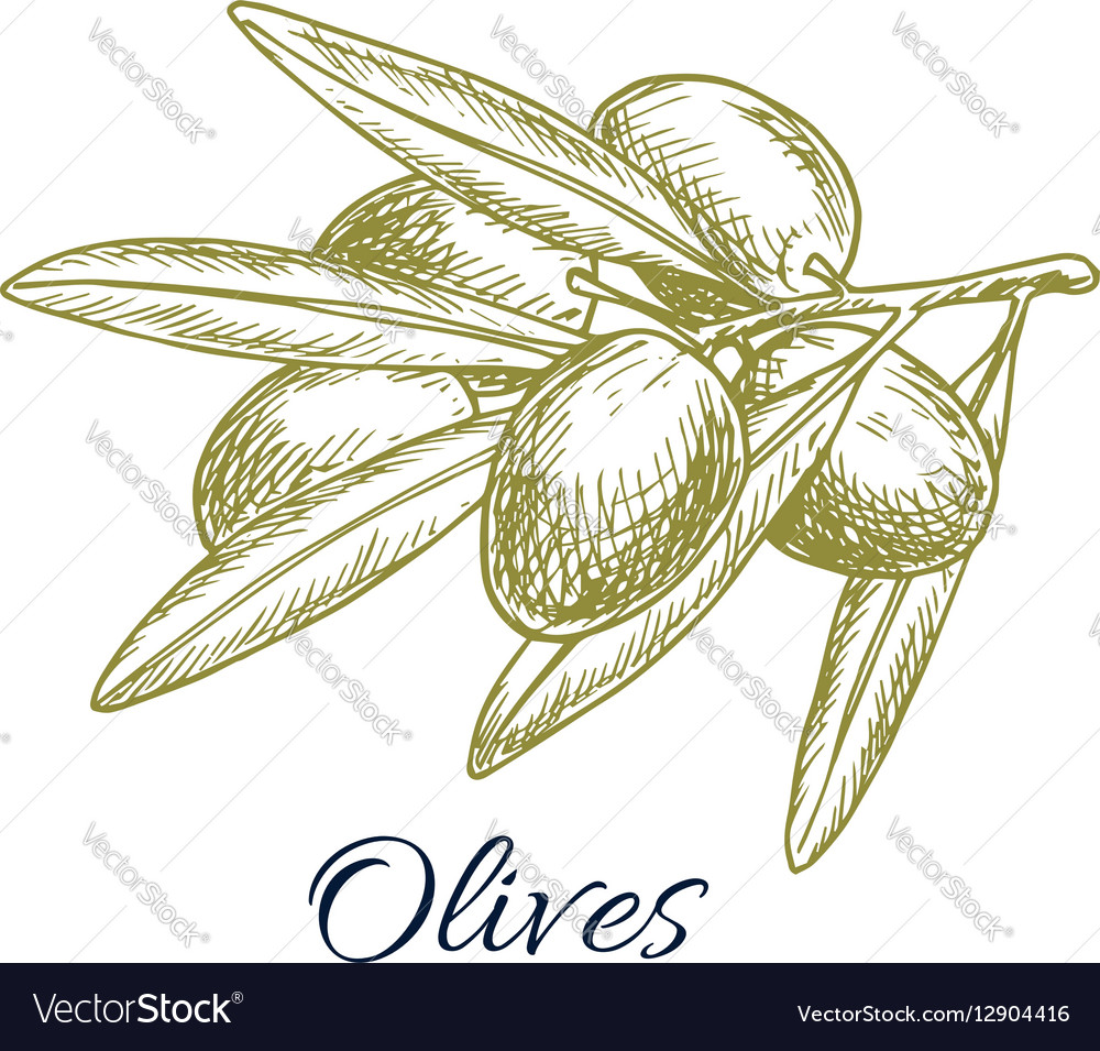 Olives branch of olive bunch sketch