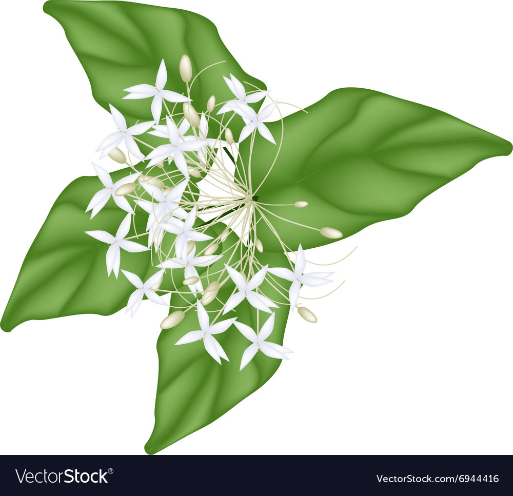 White Indian Cork Flowers On White Background Vector Image