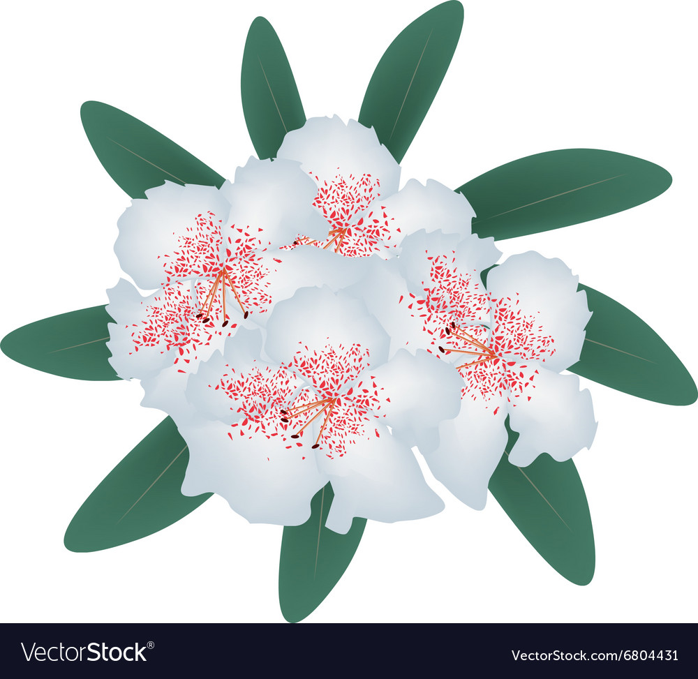 White Rhododendron with Green Leaves